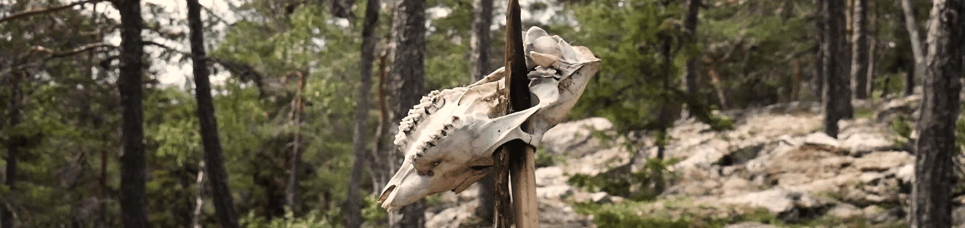 Ein Totenschädel von einem Elch, der auf einem Stock aufgespießt ist