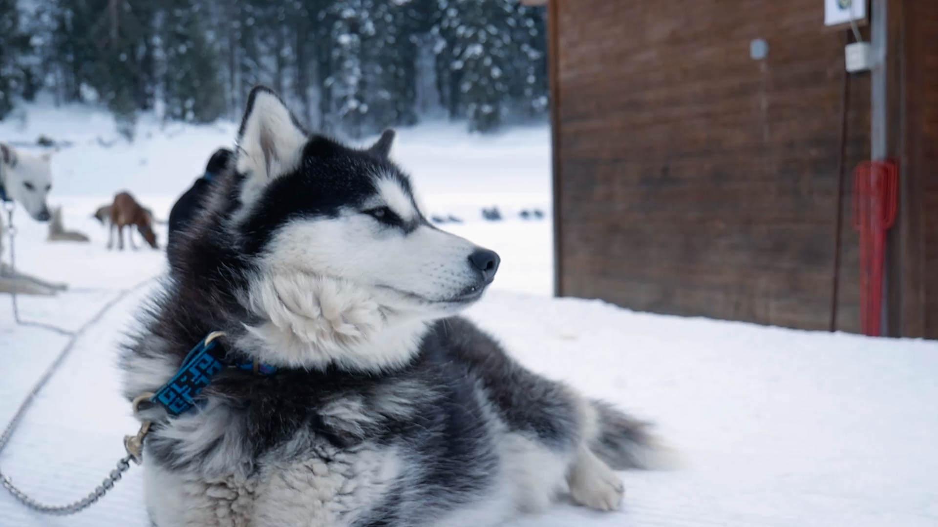 Ein Husky der Im Schnee liegt