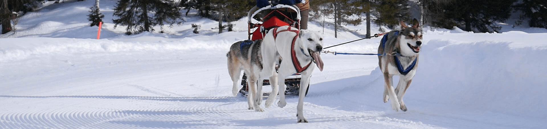 3 Schlittenhunde die einen Teilnehmer beim Schlittenhundeworkshop ziehen
